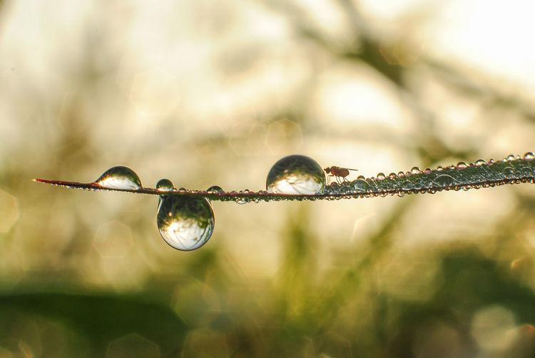 the dew drop