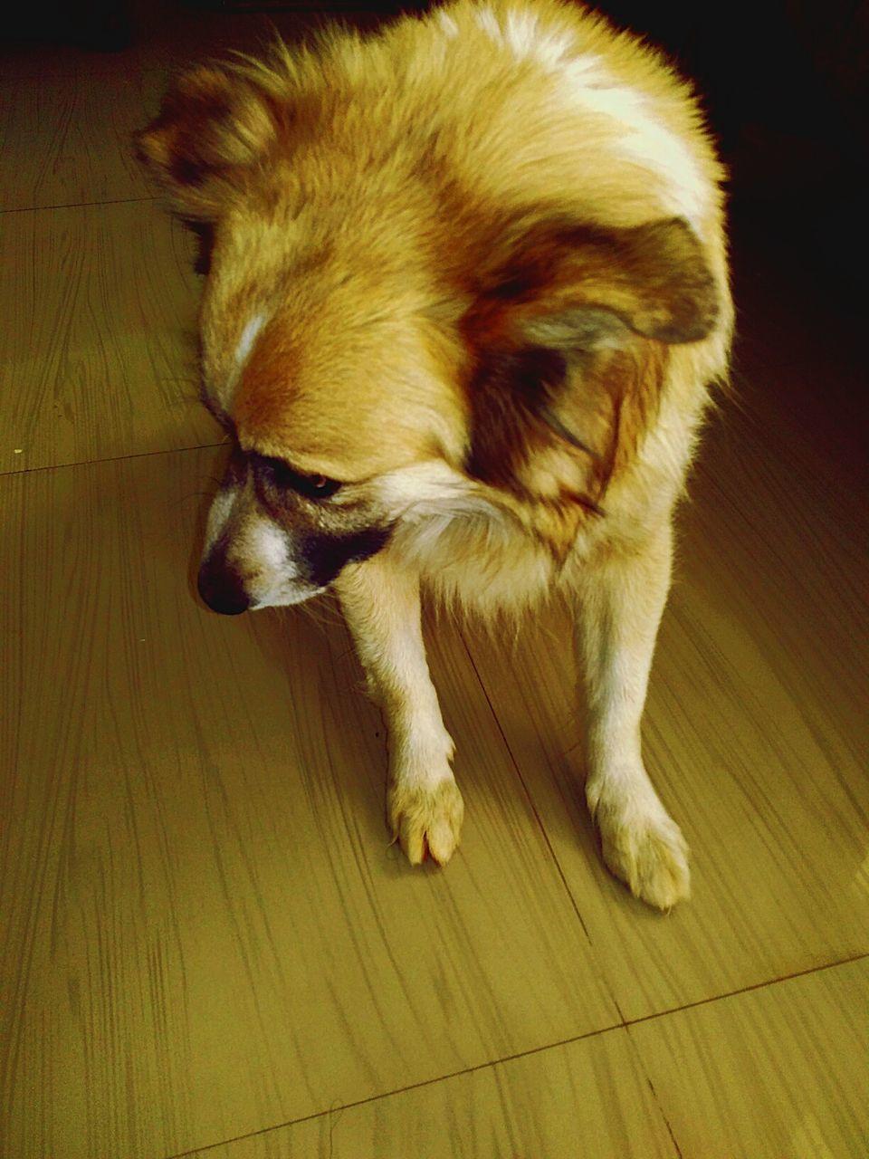 pets, hardwood floor, domestic animals, one animal, dog, mammal, animal themes, indoors, close-up, no people, day