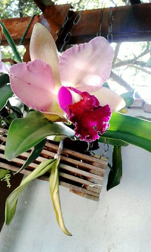 Cattleya híbrida. Flower Orchid Beauty In Nature Flower Head No People Plant Fragility Nature Petal Nature Day Beutiful :) Orquídea❤ Flower Collection Original Experiences