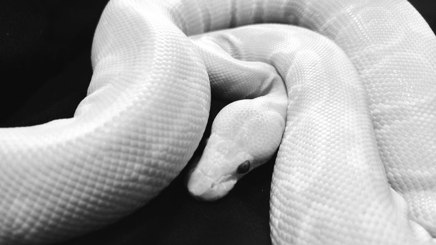 EyeEm Best Shots - Black + White Eyeem Black And White Candino Ball Python Ball Python Snakes Are Beautiful Snake EyeEm Gallery No People Eyeembestshots - Black + White Black & White Black And White Collection  Black And White Photography Up Close Animal Photography Animals EyeEm Animal Lover
