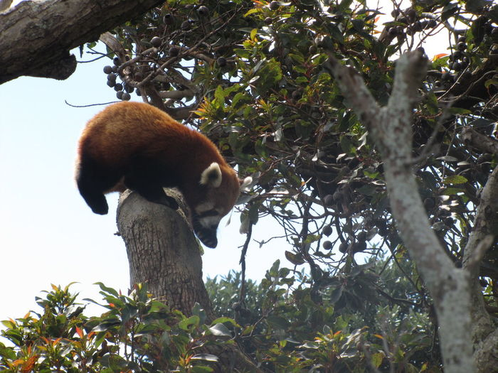 Playing On A Tree Animal Wildlife Nature No People One Animal Outdoors Red Panda Tree Trunk