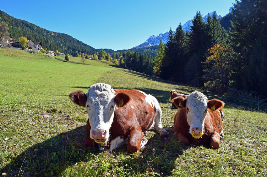 Beauty In Nature Day Dolomites Domestic Animals Field Fir Trees Grass Grassy Green Color Growth Italy Landscape Lifestyles Livestock Mammal Mountain Nature Outdoors Relaxation Scenics Sky South Tyrol Tranquil Scene Tranquility Wood
