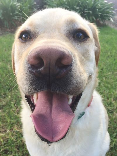 Pant Miltonbiscuit Domestic Animals Dog Pets Animal Themes One Animal Mammal Looking At Camera Close-up Animal Nose Portrait Mouth Open No People Animal Tongue Day Labrador Outdoors
