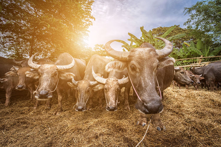 Buffalo Buffalo Soldier Agriculture Animal Animal Themes Animal Wildlife Cattle Domestic Domestic Animals Field Group Of Animals Herbivorous Herd Horned Land Livestock Mammal Nature No People Pets Plant Sky Sunlight Tree Vertebrate