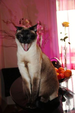 Mary d Amour 😍😍😍 Chat Miaou Siamois Rire Eyemphotography Eyemphoto Eyem Best Shots Pets Dog Domestic Animals One Animal Animal Themes Indoors