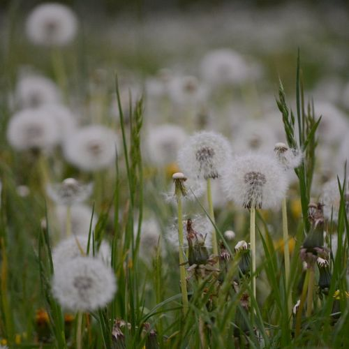 Plant Flower Flowering Plant Growth Fragility Vulnerability  Nature Freshness Beauty In Nature Close-up Field No People Dandelion Selective Focus Day White Color Softness Land Flower Head Grass Outdoors Dandelion Seed