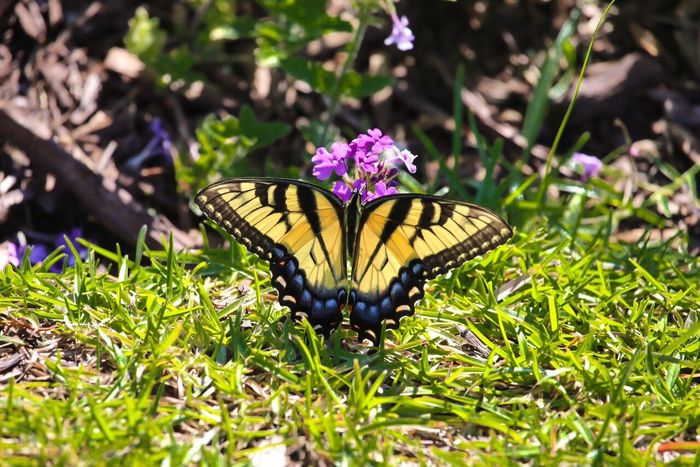 Monarch Butterfly Butterfly Butterfly Collection My Favorite Things Beauty In Nature Relaxing Enjoying Life Outdoors Backyard Nature Photography Flowers From My Point Of View Outdoor Photography My Favorite Subject
