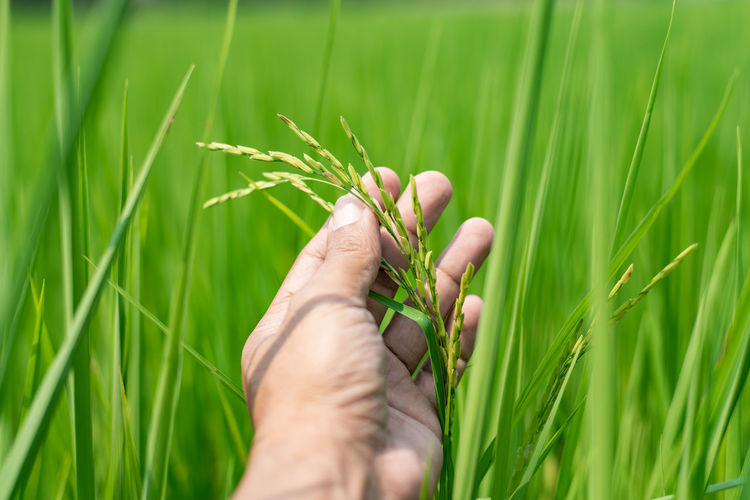 Midsection of person holding wheat growing on field