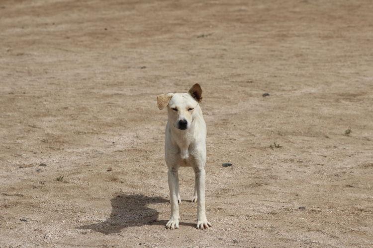 Portrait of dog standing on sand