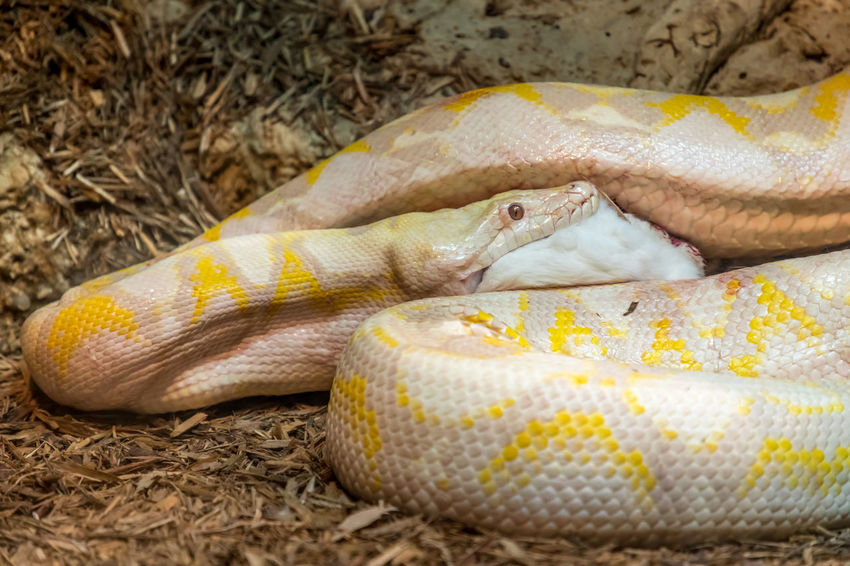 Python eating a rabbit Animal Animal Scale Animal Themes Animal Wildlife Close-up Day Domestic Domestic Animals Focus On Foreground Food Food And Drink Indoors  Mammal No People One Animal Pets Python Reptile Snake Vertebrate Yellow