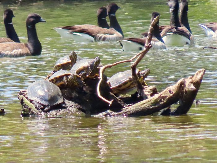 Lots of turtles 🐢 Brandt geese water large group of animals outdoors at the pond Animal Wildlife Animal Themes Water No People