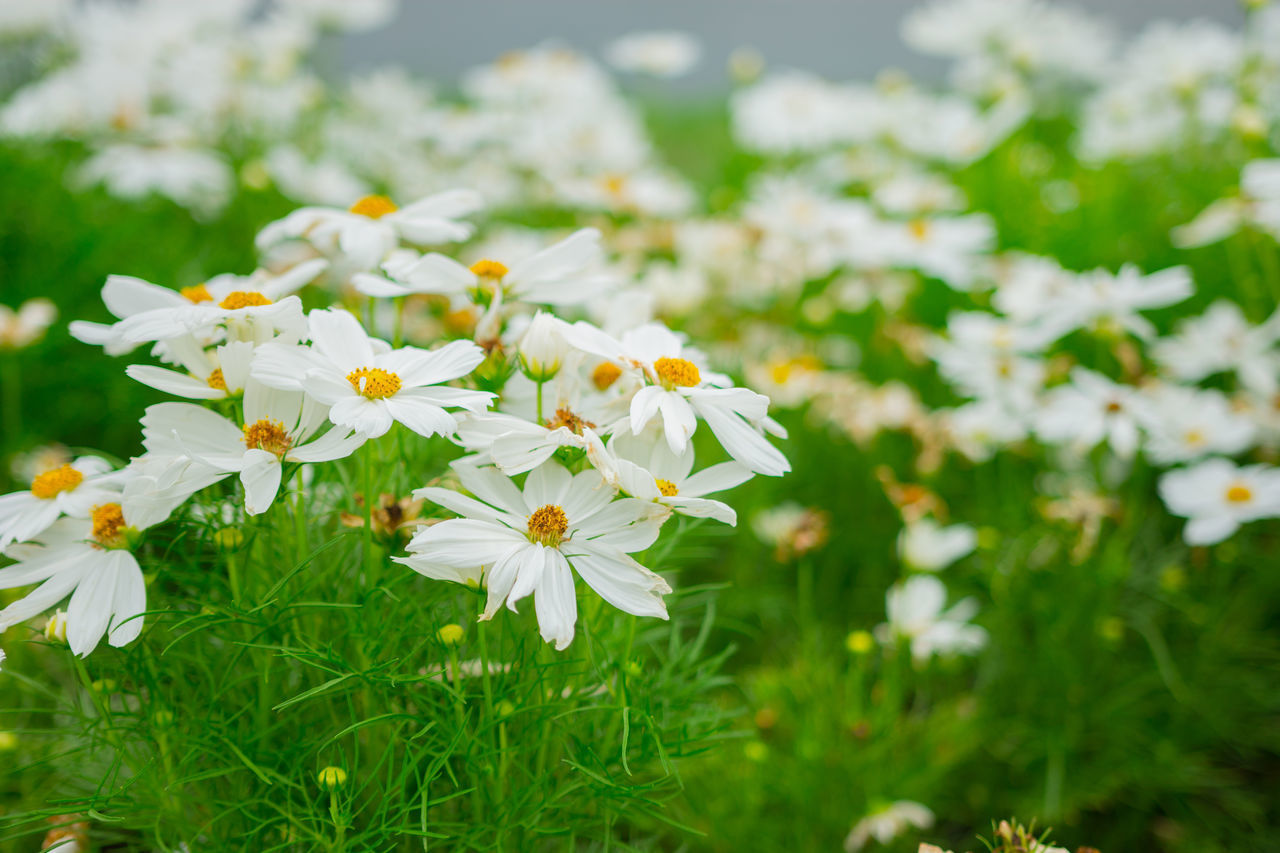 flowering plant, flower, freshness, plant, fragility, vulnerability, growth, beauty in nature, petal, flower head, white color, inflorescence, close-up, nature, land, field, day, daisy, no people, focus on foreground, outdoors, pollen