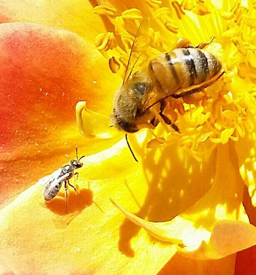 The Pollenator the bee won Macro April2015 Macroworld Eye4photography Makro Spring2016 California Save The Bees Californiathroughmylens Myflower Nature At Its Best Busy Bee Love My Bees Bee And Flower Beesofeyeem Macrophotography Nature Photography Eyeemphotography I Have A Passion For Taking Photos Macro Photography EyeEm Gallery Flowers,Plants & Garden Smallthingsthatmakemehappy Macro_bugs Flowers, Nature And Beauty