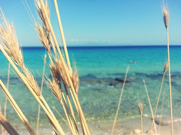 greece Traveling beach ♡♡♡♡ Greece Traveling Beach Farmland Calm Plant Life Blooming Cereal Plant Countryside Corn - Crop Agricultural Field Combine Harvester Ear Of Wheat Pollen Crop  Oat - Crop Rye - Grain Rice Paddy Growing Wheat Barley Cultivated Land Corn On The Cob Sweetcorn Shore Corn Farm Young Plant Agriculture Plough