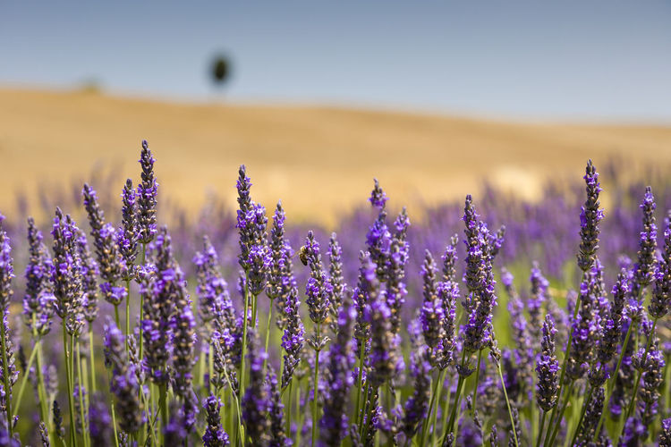 Close-up of purple lavender flowers with hill and cypress on the top in background