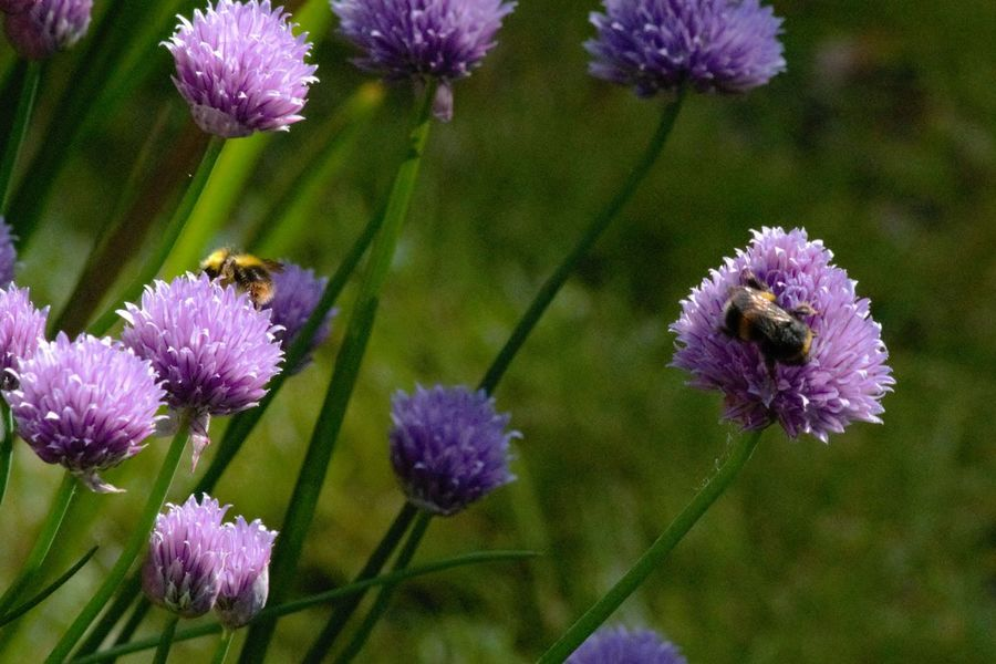Beauty In Nature Bees Blooming Bumble Bee Chives Close-up Day Flower Flower Head Fragility Freshness Garden Growth Nature No People Outdoors Petal Plant Purple