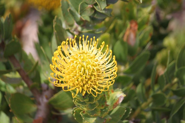 Flower Freshness Fragility Growth Yellow Close-up Beauty In Nature Flower Head Nature Plant Selective Focus Bud Petal Springtime In Bloom Single Flower Blossom Botany Day Focus On Foreground Protea Blossom Cape Town