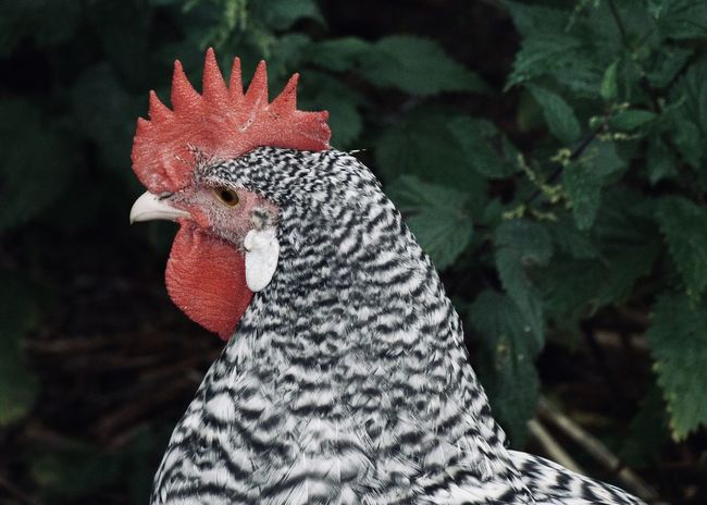 rooster portrait Agriculture Barred Plymouth Rock Chicken Chicken Farm Animal Animal Eye Animal Head  Animal Themes Animal's Crest Backgrounds Beak Bird Chicken - Bird Close-up Coutryside Domestic Animals Focus On Foreground Free Range Livestock Nature One Animal Portrait Red Rooster Vertebrate