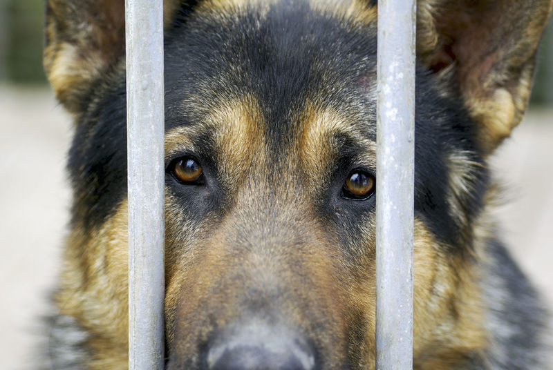 Animal Head  Animal Themes Close-up Day Defend Dog Domestic Animals Enclosure Fence German Shepherd GSD Iron Railing Looking At Camera Mammal Nature No People One Animal Outdoors Pet Photography  Pets Portrait Rod Shepherd Watchman