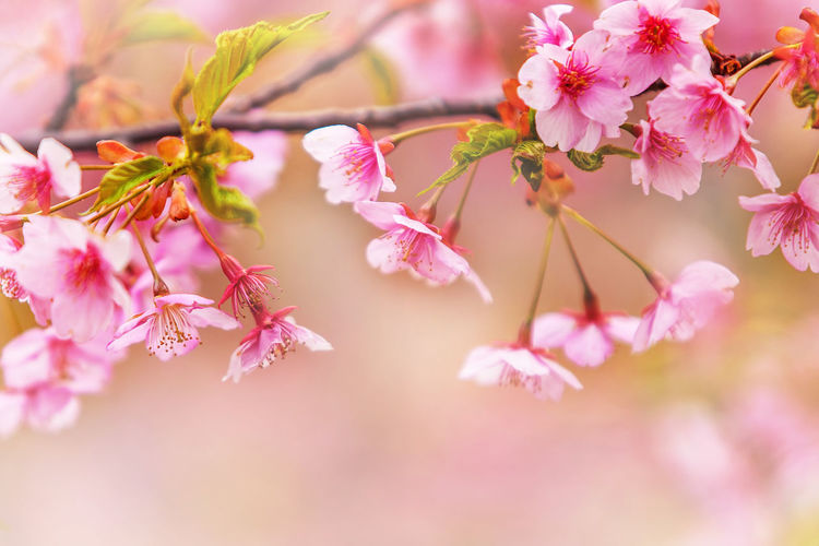 Beautiful sakura flower in March. sakura tree flower with blurry background. Beauty In Nature Blossom Branch Cherry Blossom Cherry Tree Close-up Day Flower Flower Head Flowering Plant Fragility Freshness Growth Nature No People Outdoors Petal Pink Color Plant Pollen Selective Focus Springtime Tree Vulnerability