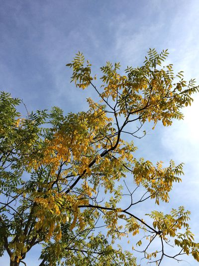 Yellow Paint The Town Yellow Tree Autumn Autumn Colors Nature No People Day Outdoors Cloud - Sky