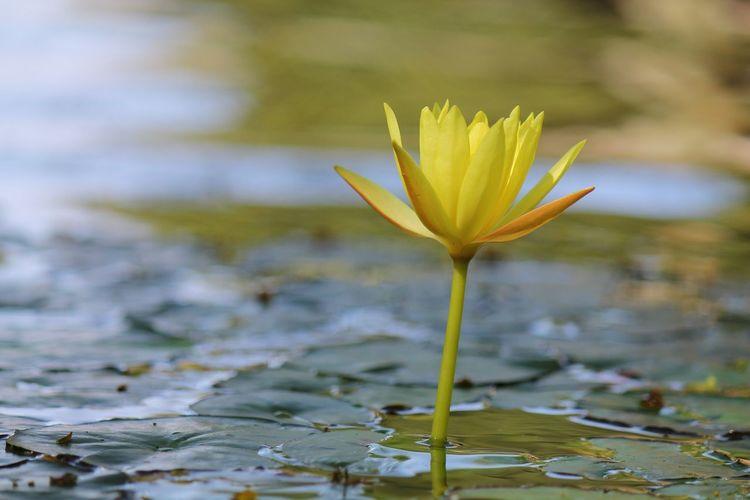Lotus Lotus Flower Loto Flower Lotusblüte Blüte Blume Blossom Flor