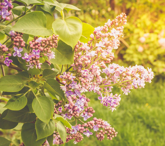 Lilac branch, close-up on a bright sunny day Pink Sunnyday☀️ Beauty In Nature Branch Close-up Day Flower Flowering Plant Freshness Lilac Nature No People Outdoors Petal Pink Color Plant Purple Springtime Vulnerability