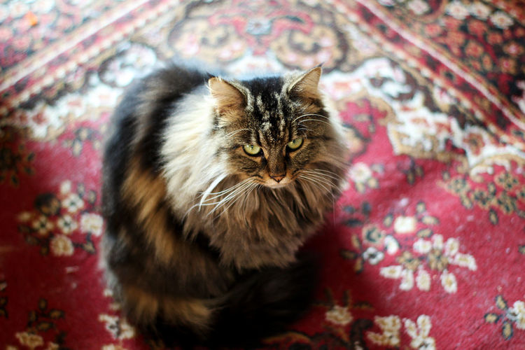 50mm Animal Themes Canon Carpet Cat Close-up Day Domestic Animals Domestic Cat Feline Floral Pattern Indoors  Looking At Camera Mainecoon No People One Animal Persian Cat  Pets Portrait Red