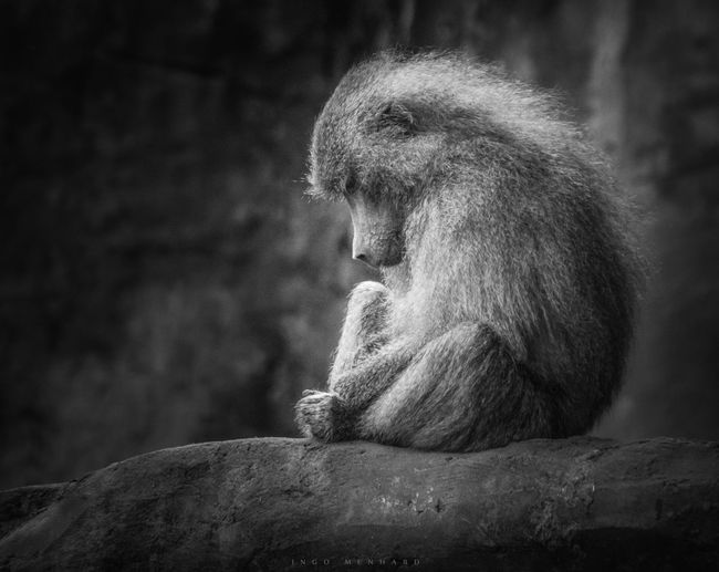 Lonely Monkey Abstract Alone Animal Ape Art Baboon Black Black And White Captivity Classic Dog Ape Loneliness Lonely Monkey Retro Sad Sadly Sadness Sorrow Sorrowful Unhappy Unusual Vintage White Zoo