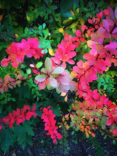 Autumn Autumn Colors Autumn Leaves Autumn🍁🍁🍁 Autumn Collection Autumnbeauty Freshness Fragility Growth Pink Color Beauty In Nature Petal Leaf Plant Nature Close-up Springtime In Bloom Flower Head Blossom Blooming Full Frame Vibrant Color Day Softness