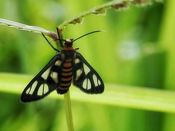 Tiger Moth Macro Honor 5A Tiger Moth Insect Animals In The Wild Animal Themes Animal Wildlife Nature Close-up Outdoors Green Color