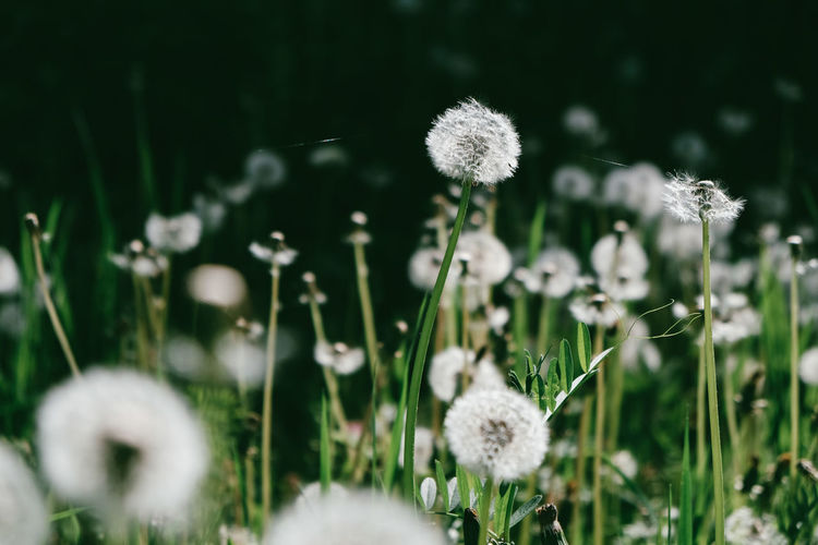 dandelion flowers fiels EyeEm Best Shots EyeEm Nature Lover EyeEm Selects Beauty In Nature Close-up Day Field Flower Flower Head Flowering Plant Fragility Freshness Growth Land Nature No People Plant Selective Focus Softness Tranquility Vulnerability  White Color