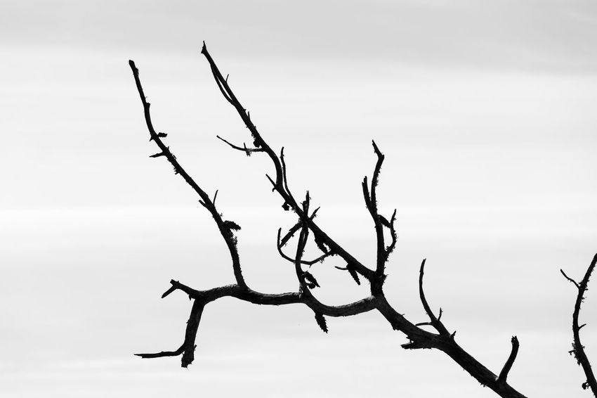 Tree Tranquil Scene Tree Branches Trees And Sky Black & White Black And White Blackandwhite Blackandwhite Photography Bnw Close-up Eye4photography  EyeEm EyeEm Best Shots EyeEm Bnw EyeEmBestPics Monochrome Minimalism Minimalist Minimalobsession From My Point Of View Nature Nature Photography Naturelovers Branches Backgrounds