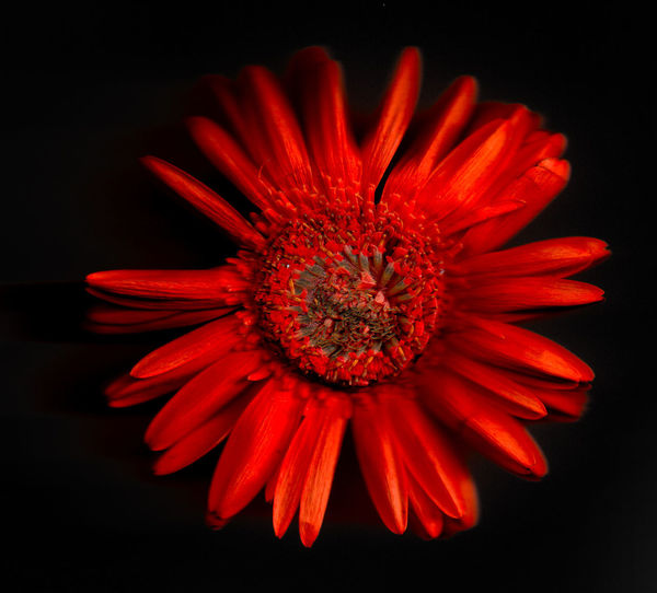 Art Numerique Flower Flowering Plant Fragility Vulnerability  Freshness Petal Red Inflorescence Flower Head Black Background Close-up Beauty In Nature Studio Shot Plant Pollen Gerbera Daisy Growth Daisy No People