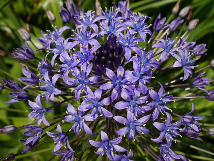Blue Color Beauty In Nature Beauty In Nature Blue Blue Flowers Close-up Flower Flower Head Flowering Plant Nature No People Purple