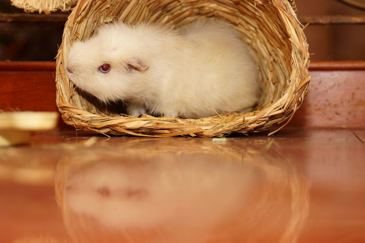 Guinea pig in wicker basket on floor