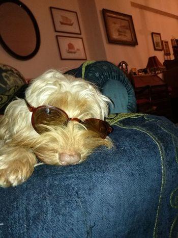 Sleepy Dog Bianca Cockerspaniel Griffon Funny Dog Animal Themes Indoors  Dog❤ Dogslife Dog On Couch My Dog