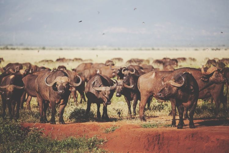 African buffaloes standing on grassy field