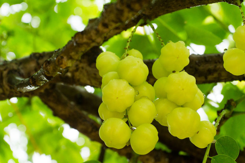 Star Gooseberry Agriculture Beauty In Nature Branch Close-up Day Focus On Foreground Food Food And Drink Freshness Fruit Grape Green Color Growth Healthy Eating Low Angle View Nature No People Outdoors Tree Yellow