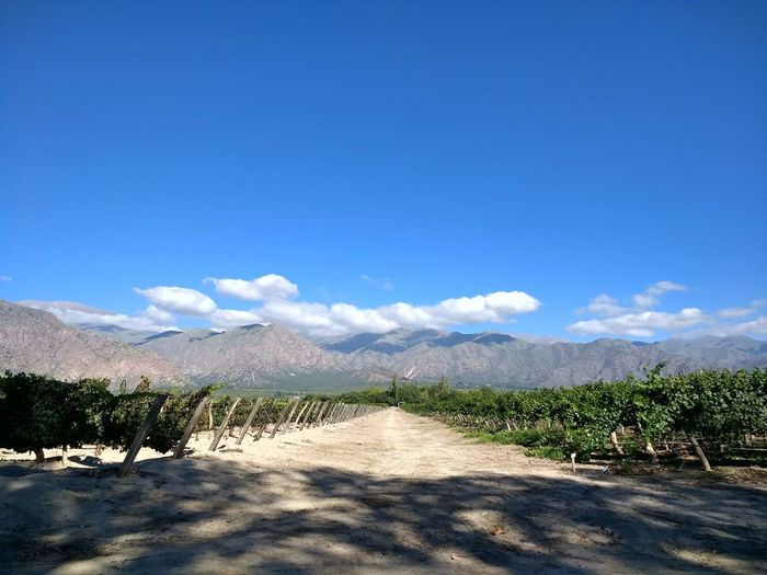 Viñedo en Cafayate/Vineyard in Cafayate Sky Mountain Tranquility Beauty In Nature Scenics - Nature Tranquil Scene Cloud - Sky Blue Nature Sunlight Environment Landscape Plant No People Non-urban Scene Land Outdoors Vineyard