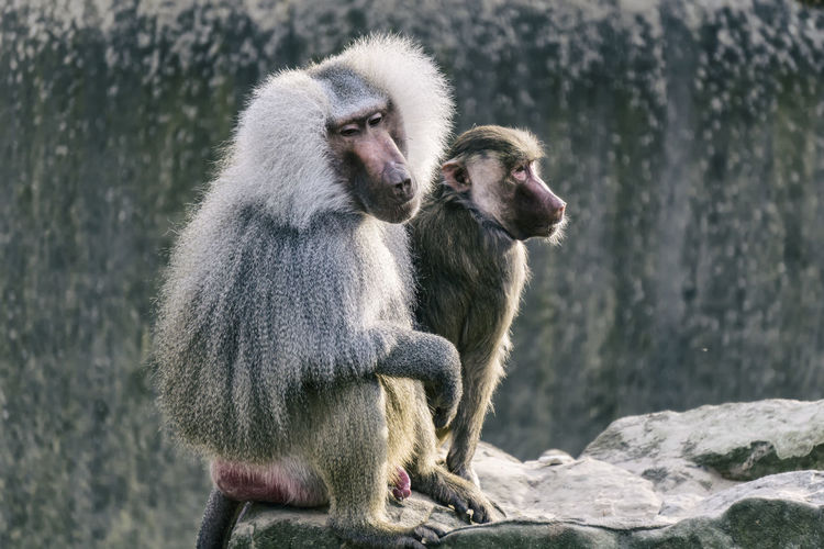 Two Baboon at the zoo Berlin Germany 🇩🇪 Deutschland Horizontal Mamal Zoo Animal Animal Family Baboon Color Image Group Of Animals In Captivity Male Mammal Monkey No People Outdoors Primate Rock Rocks Sitting Two Animals Vertebrate Zoological Garden Zoology