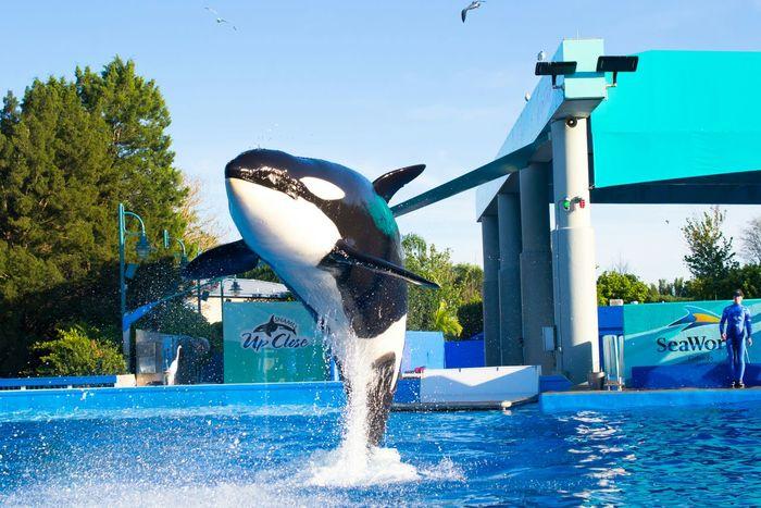 Traning Jamp Killer Whale Beautiful BIG Water Animal Sea World Orlando USA