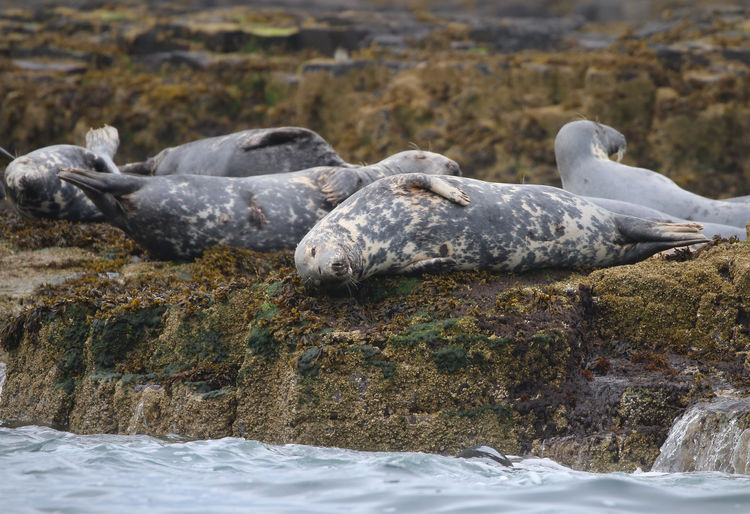 Close-up of seals relaxing on rock by sea
