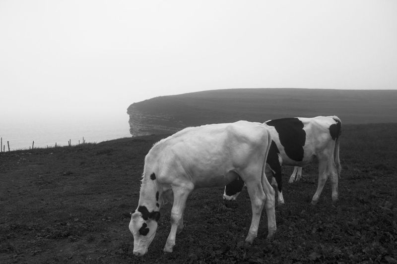 Cows  standing on a cliff  grazing