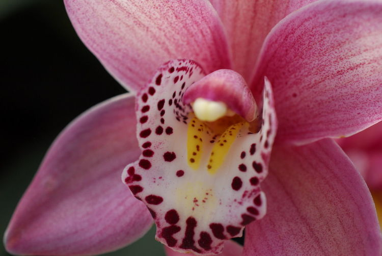 Close-Up Of Fresh Pink Orchid Flower