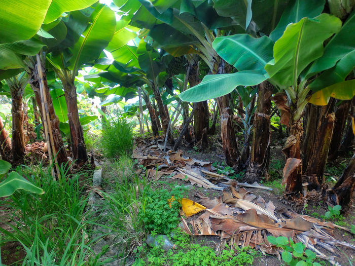 Banana leaves on ground. Plant Leaf Plant Part Growth Nature Land Green Color Tree Banana No People Day Banana Tree Field Food Forest Food And Drink Fruit Outdoors Beauty In Nature Healthy Eating Leaves Banana Banana Tree Banana Leaf Foliage Greenery Plants Ground