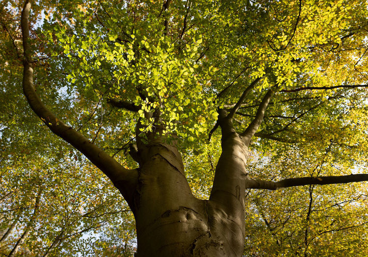 Tree Plant Trunk Tree Trunk Nature Low Angle View Green Color Growth Beauty In Nature Forest Day Branch Autumn Outdoors Plant Part Land Leaf Tranquility Sunlight No People Change Tree Canopy
