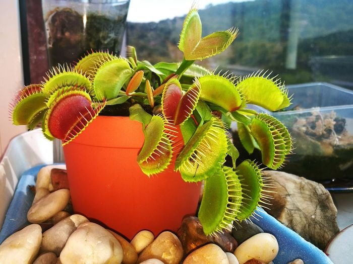 Adapted To The City Flytrap, Flower, Dionaea Dionaea Muscipula Venusflytrap Red Nature Close-up Plant Beauty In Nature Colour Of Life Enjoying Life Taking Photos Nature's Diversities Leaves🌿