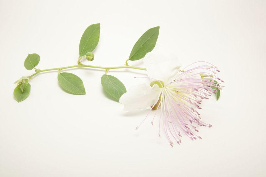 Pink Blossom Caper Flower Freshness Isolated On White Leaf Nature Petals Plant Studio Shot