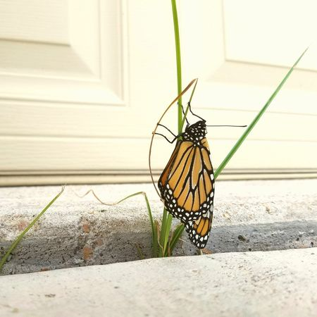 Young monarch in a precarious situation. Hanging Day No People Close-up Monarch Butterfly Monarch Youth Freshness Fragility Outdoors Animal Markings Beauty In Nature One Animal Nature Butterfly - Insect Animals In The Wild Insect Precarious Precariously